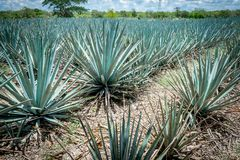 Blue Agave plantation Stock Photography