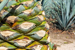 Blue Agave Pineapple Closeup Royalty Free Stock Photo