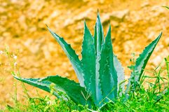 Blue Agave plant with sword like leaves Stock Image