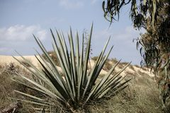 Blue agave plant on the white sand dune Royalty Free Stock Images