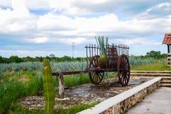 Blue agave on a wagon stock photos