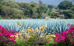 Blue Agave plants. Field of Blue Agave plants with bougainvillea in foreground. Tequilla ingredient royalty free stock photos
