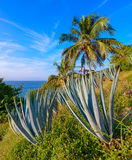 Blue agave plants,mexico Royalty Free Stock Photos