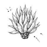 Blue agave. Tequila ingredient vector drawing Stock Photos