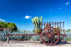 Blue Agave on a Wagon. Blue agave plants on a wagon near Valladolid, Mexico royalty free stock photos