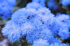 Blue ageratum Royalty Free Stock Photography
