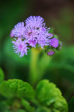 Blue ageratum flower closeup Royalty Free Stock Images
