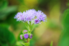 Blue ageratum flower closeup Royalty Free Stock Photos