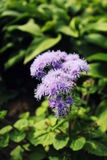 Blue Ageratum flower Stock Photo