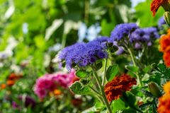 Blue Ageratum flowers. Blurred soft summer background of flowers shining by sun with bokeh effect. Background creative royalty free stock photo