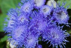 Blue Ageratum Stock Photo