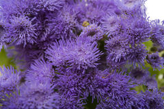 Blue ageratum flowers isolated Royalty Free Stock Image