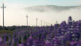 Blue Alaskan lupins