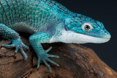 Blue alligator lizard. The highly endangered blue alligator lizard / Abronia graminea Stock Photo