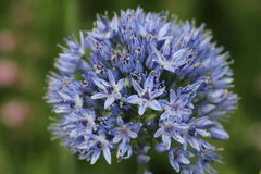 Blue Allium caeruleum Flowers Royalty Free Stock Photo