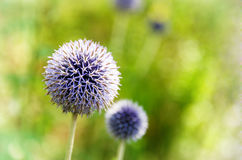Blue allium flowers in sunlight Royalty Free Stock Images