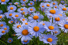 Blue alpine asters Royalty Free Stock Photo
