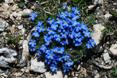 Blue alpine flowers. Detail of small blue alpine forget-me-not flowers on a high mountain meadow Stock Photography