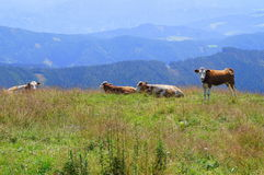 Blue alps with cow. Austria, grazing cow on blue mountain in styria alps Royalty Free Stock Images