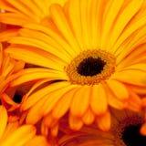 Yellow-orange gerbera Stock Photography