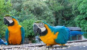 Blue amazonian ara parrot. Blue amazonia macaw parrot. Tropical colorful bird Stock Photo