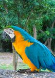 Blue amazonian ara parrot. Blue amazonia macaw parrot. Tropical colorful bird Royalty Free Stock Photo