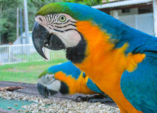 Blue amazonian parrot. Blue amazonia macaw parrot. Tropical colorful bird Royalty Free Stock Photos