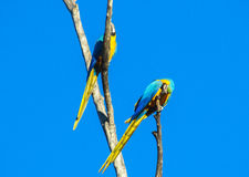 Blue amazonian parrot. Blue amazonia macaw parrot. Tropical colorful bird Stock Photography