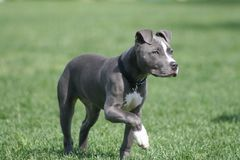 Blue American Pit Bull Puppy royalty free stock photos