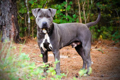 Blue American Pit Bull Terrier Dog Portrait