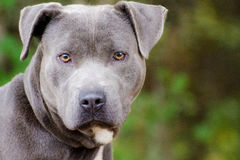 Blue American Pit Bull Terrier Dog Portrait Royalty Free Stock Photos