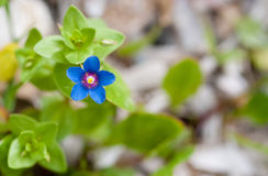 Blue Anagallis arvensis or Scarlet pimpernel  flower Royalty Free Stock Photography