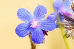 Blue Anchusa flower Stock Image