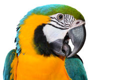 Free Blue And Gold Macaw Royalty Free Stock Photo - 40097835