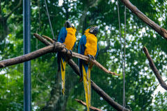 Free Blue And Gold Macaws At Parque Das Aves - Foz Do Iguacu, Parana, Brazil Royalty Free Stock Photos - 92152628