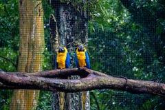 Free Blue And Gold Macaws At Parque Das Aves - Foz Do Iguacu, Parana, Brazil Stock Image - 92182931