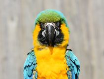 Free Blue And Gold / Yellow Macaw Parrot Close Up Royalty Free Stock Images - 114876689
