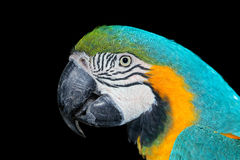 Free Blue-and-yellow Macaw Royalty Free Stock Image - 78221976
