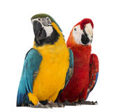 Blue-and-yellow Macaw, Ara Ararauna, 30 Years Old, And Green-winged Macaw, Ara Chloropterus, 1 Year Old Stock Image
