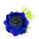Blue anemone. Single blue Anemone flower on white background stock photography