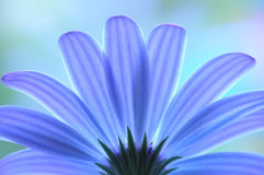Blue anemone. A perspective shot stock photo