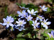 Blue anemone. Close up of blue anemone flower royalty free stock images