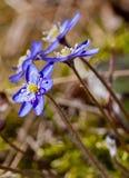 Blue anemone Royalty Free Stock Image