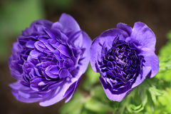 Blue anemone Royalty Free Stock Photos