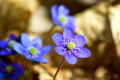 Blue anemone Stock Photos