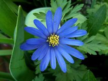 A Blue Anemone Blanda in the Woods royalty free stock image