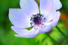 Blue anemone close up Royalty Free Stock Photography