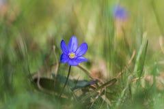 Blue Anemone closeup. Blue Anemone in green grass closeup stock photography