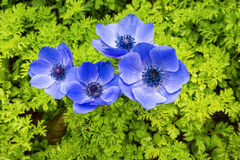 Blue anemone coronaria Stock Photography