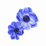 Blue anemone coronaria isolated Royalty Free Stock Images